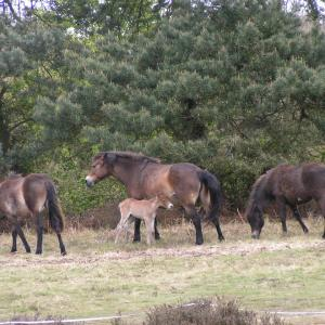 Exmoor ponies on Aldringham Walks LC