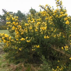 Gorse on the Golfcourse