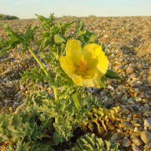 Horned Poppy Thorpe Beach CLaschet