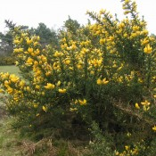Gorse on the Golf Course, Thorpeness